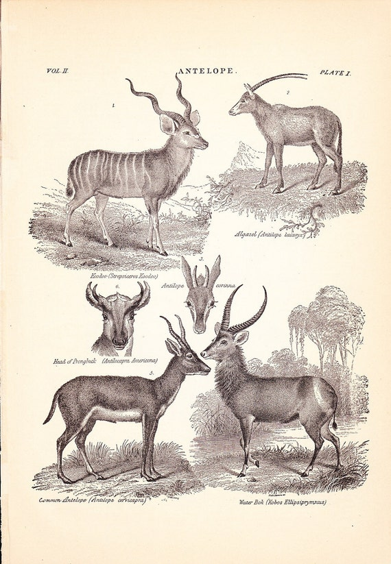 RESERVED 1901 Animal Print - Antelope - Vintage Antique Home Decor Art Illustration for Framing 100 Years Old