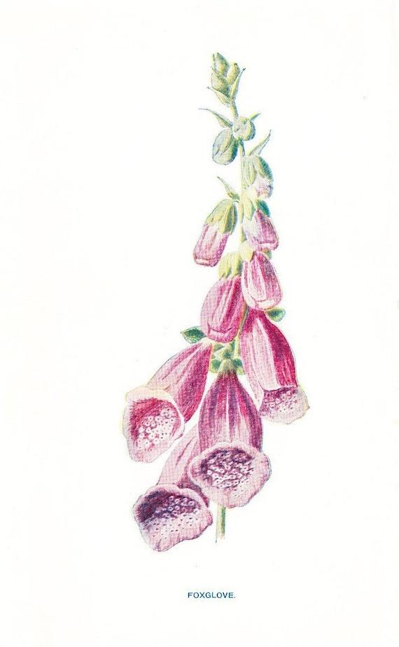 1900 Botany Print - Foxglove - Vintage Antique Flower Art Illustration Natural Science Great for Framing 100 Years Old