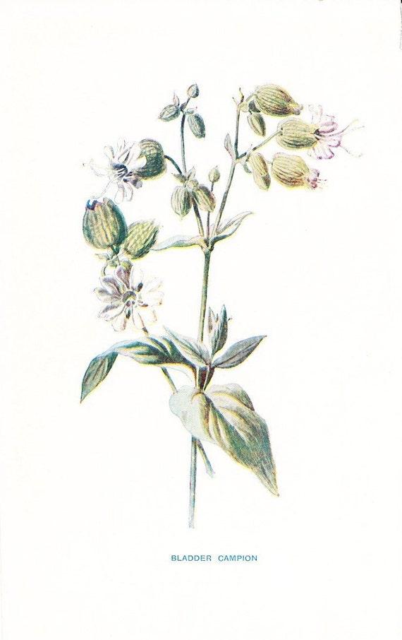 1900 Botany Print - Bladder Campion - Vintage Antique Flower Art Illustration Book Plate Natural Science Great for Framing 100 Years Old