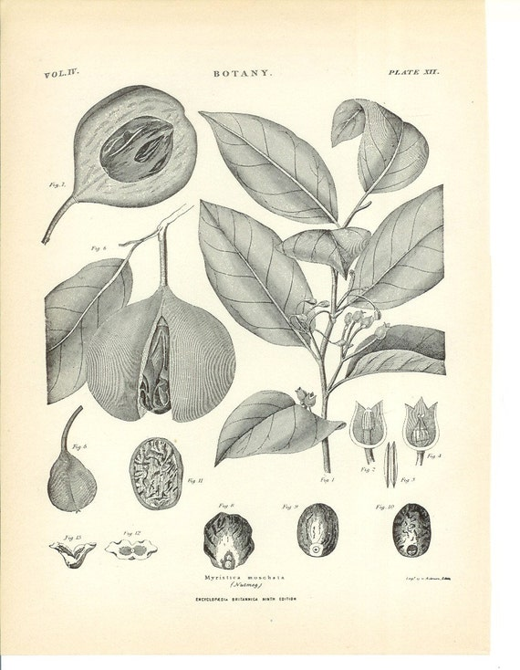 1899 Botany Print - Nutmeg - Vintage Home Kitchen Food Decor Plant Art Illustration Great for Framing 100 Years Old