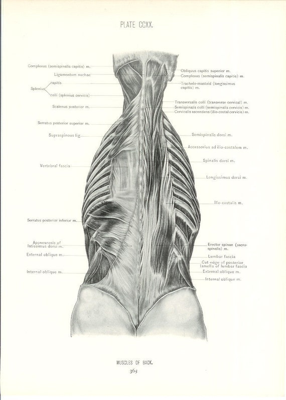 1926 Human Anatomy Print - Muscles of Back - Vintage Antique Medical Anatomy Art Illustration for Doctor Hospital Office
