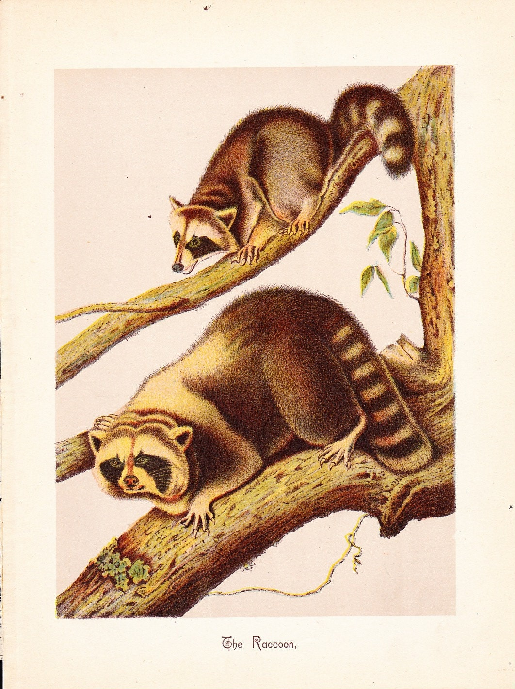 1880 Animal Print Raccoon Vintage Antique Home Decor By