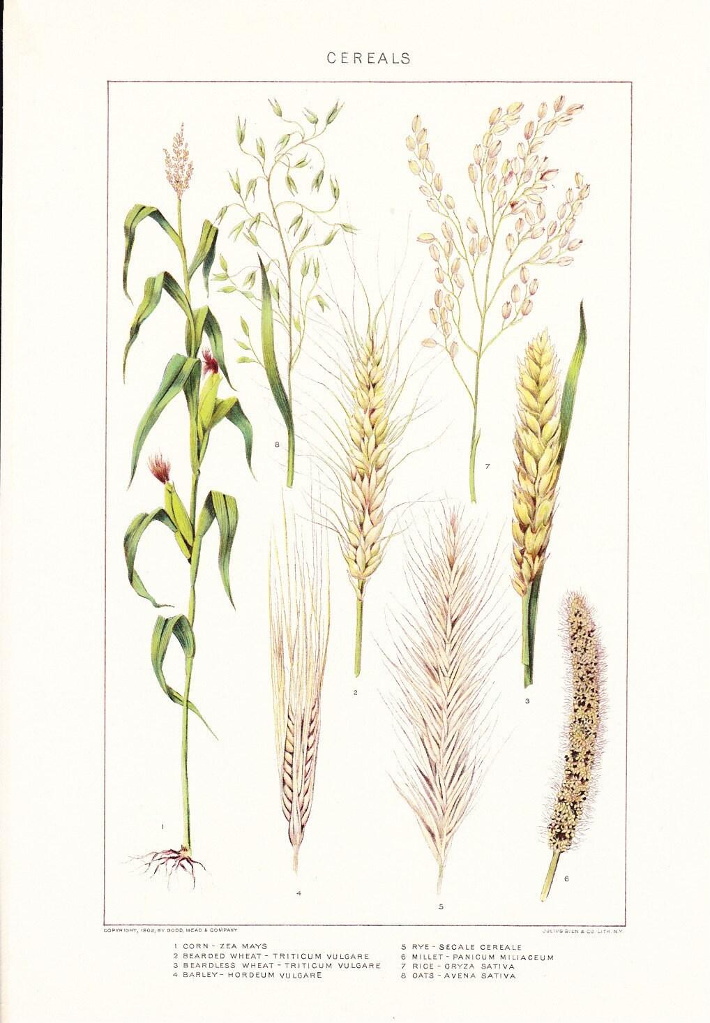 Wheat Botanical Drawing 1903 botany print cerealWheat Botanical Illustration