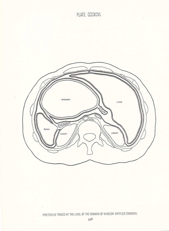 1926 human anatomy print peritoneum at forearm vintage