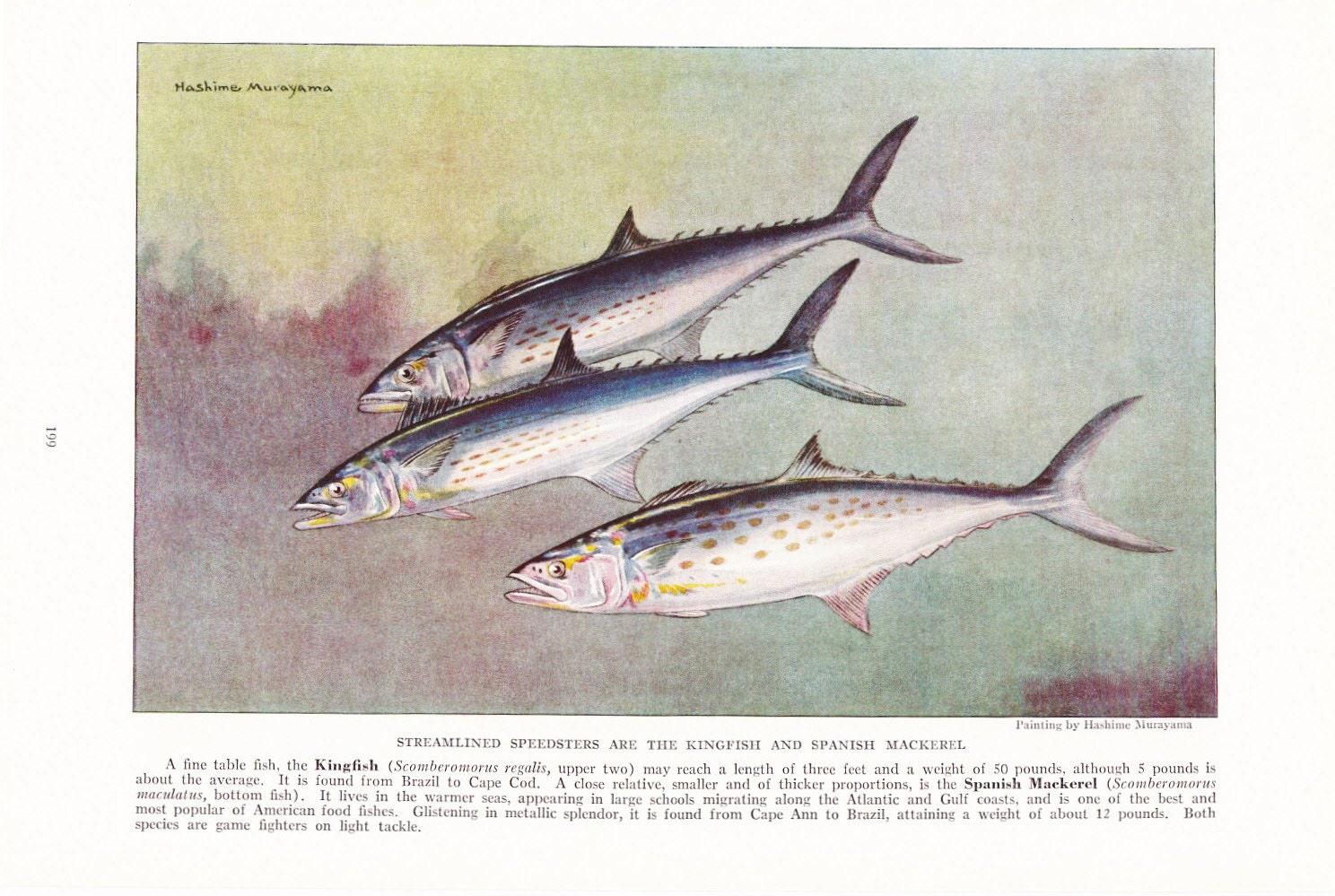 1939 fish print kingfish spanish mackerel vintage antique for Fish in spanish