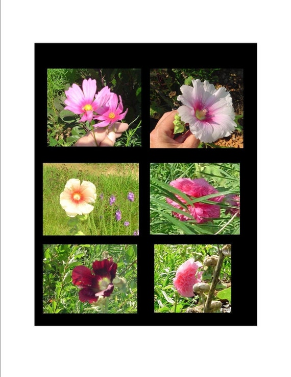 Heirloom Organic Hollyhock Seeds Mixed Color Flower Garden Seed - Tea Recipe Inlcuded Great Price