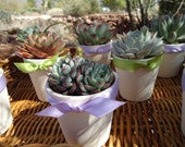 "3 Succulent Rosette Plant Favors in 3"" White Ceramic Pots for Baby or Bridal Shower, Party Gifts, Now Available With Favor Boxes"