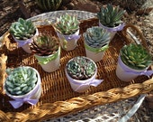 12 Succulent Rosette Favors, Pre-ribboned White Ceramic Pots, TWO SIZES with DIY Option