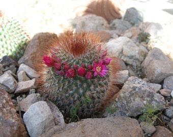 Red-Headed Irishman (Mammillaria spinosissima) Cactus