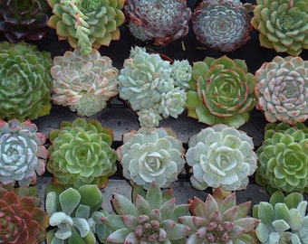 Featured in Birds and Blooms Magazine, 20 Colorful Succulents for Weddings, Showers, Baptism, Party Favors