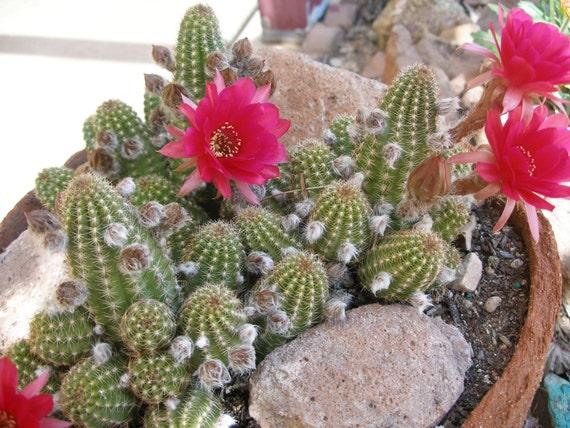 Peanut Cactus  - Rose Quartz, Bright Red Blooms