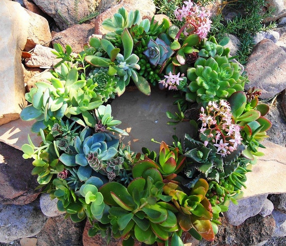 "Featured in Birds and Blooms Magazine, 12"" Living Succulent Wreath, Unique, Order NOW to RECEIVE by CHRISTMAS"