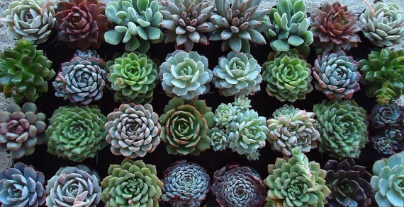 RESERVED for Diana Renee, 50 Succulents Plant Rosettes Assortment Collection for Her November Wedding