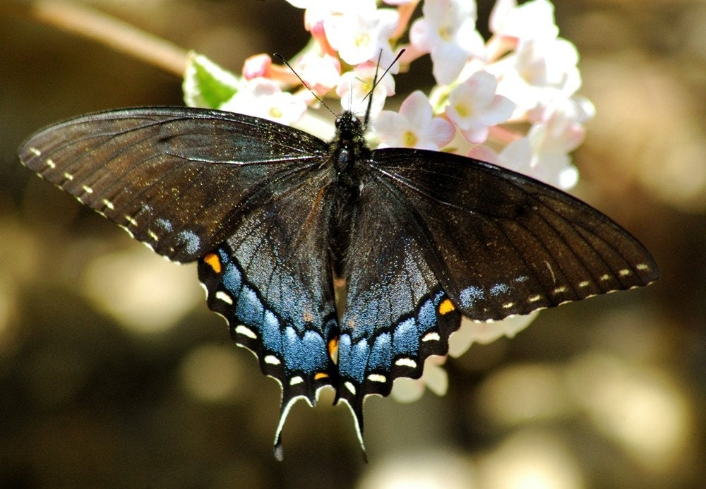 black and blue butterfly art photo