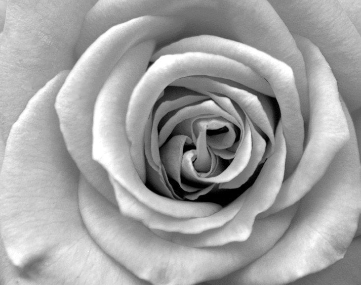 Black And White Rose Bloom Art Photo