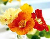Organic Nasturtium Dwarf Jewel Mix Edible Heirloom Flower Seeds