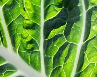 Organic Lucullus Swiss Chard Heirloom Vegetable Seeds