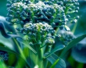 Organic Green Sprouting Broccoli Heirloom Vegetable Seeds