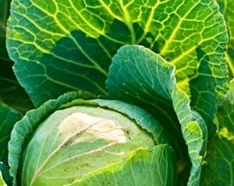 Organic Early Jersey Wakefield Cabbage Heirloom Vegetable Seeds