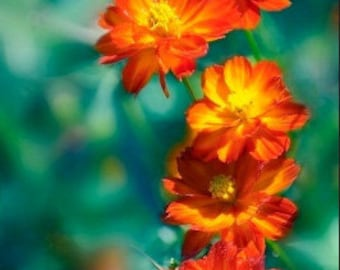 Organic Cosmos Bright Lights Mix Heirloom Flower Seeds