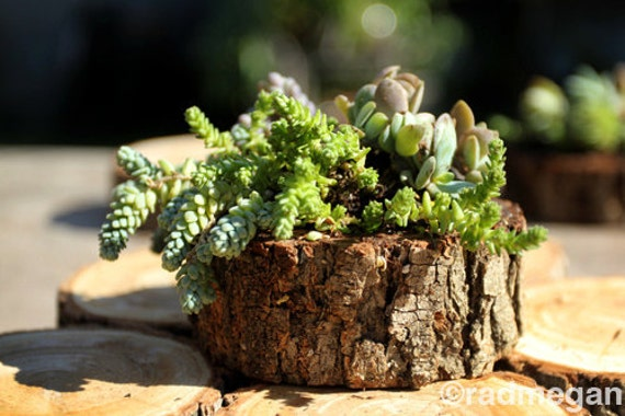 Succulents in a Wood Slice Planter