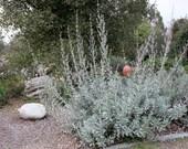 Wonderful California White Sage Seeds Spiritual Energy Clearing for Sweetgrass Ritual Salvia Apiana