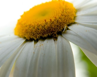 Mae Flower - Daisy Flower - 4x6 Fine Art Photograph