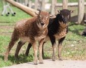 Spring 2012 CSA (Community Supported Agriculture) farm share. Handspun, home grown Shetland yarn.