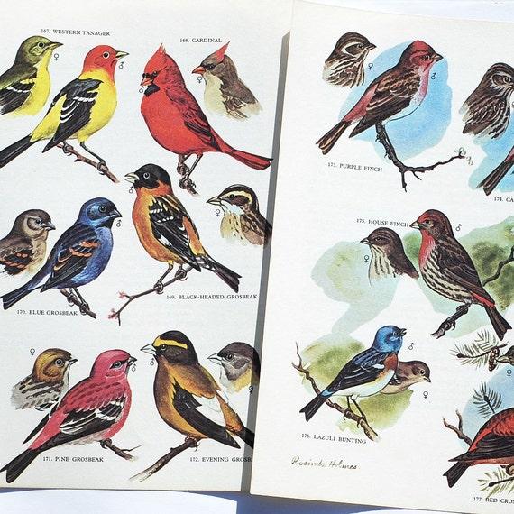 vintage bird illustrations- 8 bird print color plates
