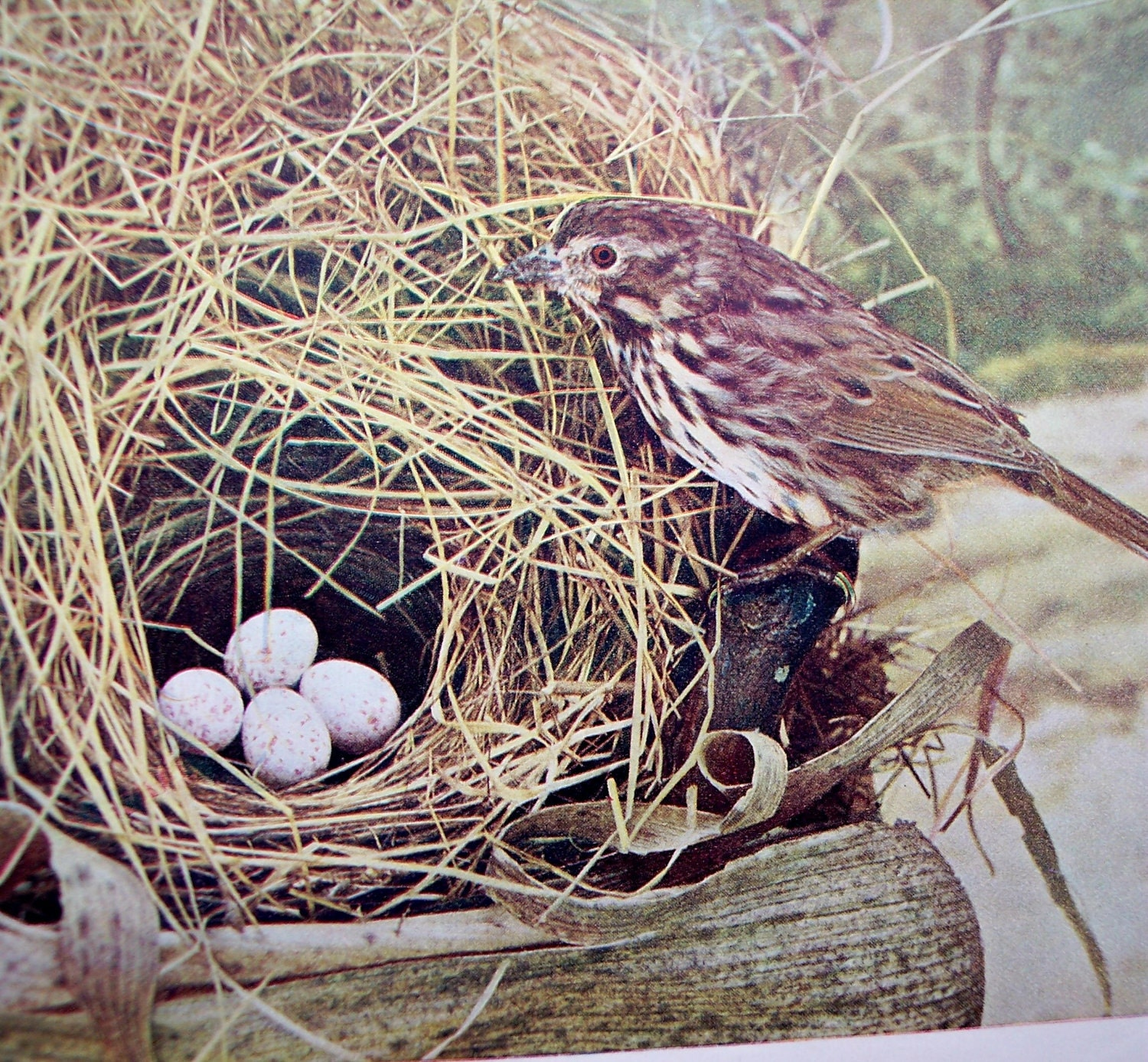 Song Sparrow with Nest and Eggs Vintage Bird by moosehornvintage