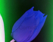 A6 Postcard Size Limited Edition Photograph of Blue Tulip (UK457/22p) 1/1