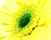 A6 Postcard Size Limited Edition Photograph of Yellow Gerbera Flower (UK576/07) 1/1