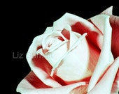 A6 Postcard Size Limited Edition Photograph of Pink Rose (UK598/01) 1/1