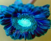 A6 Postcard size limited edition photograph of Blue Gerbera (UK620/08 - 1/1)