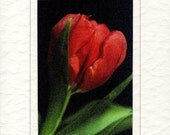 Red tulip photographic greetings card (597\/06)