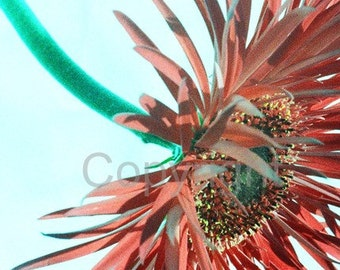 SALE - Contemporary Spider Gerbera Flower photograph (UK566/29 - 1 of 45) - mounted - reduced for studio clearance