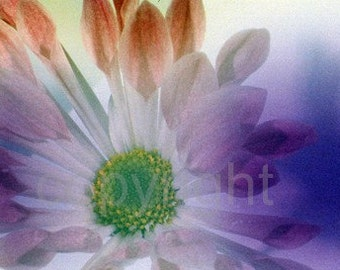 SALE - Contemporary Purple Flower photograph (UK570/06 - 1 of 45) mounted - reduced for studio clearance