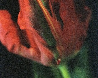 Red tulip photograph (597/21) limited edition of 45