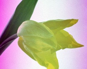 Yellow tulip flower photograph (UK457/18) limited edition of 45 - 25cm x 16cm