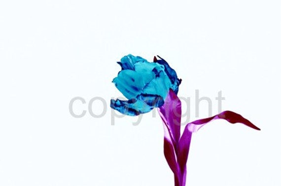 A6 Postcard size limited edition photograph of Blue Tulip (UK598/17p - 1/1)