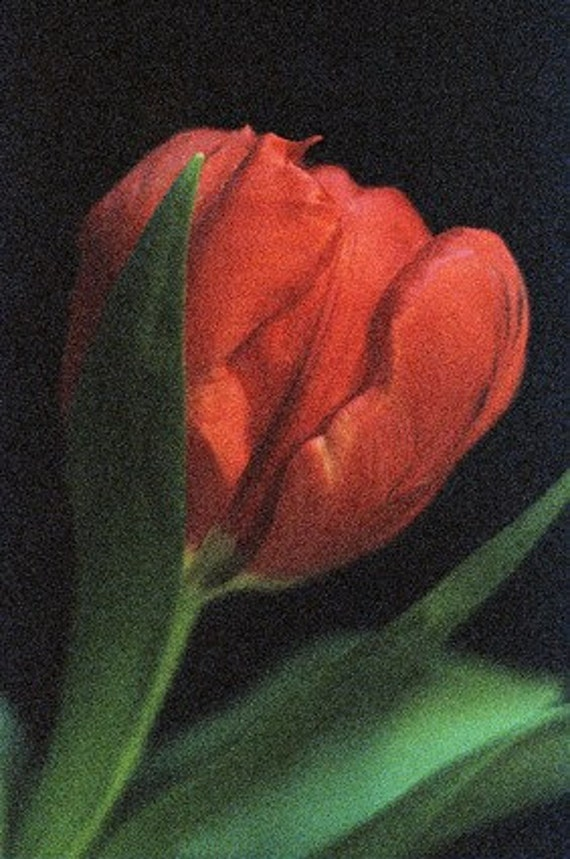 Red tulip photograph (597/06) Limited Edition of 45