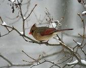 5x7 Winter Bird Photograph, Female Cardinal on Branch during Winter