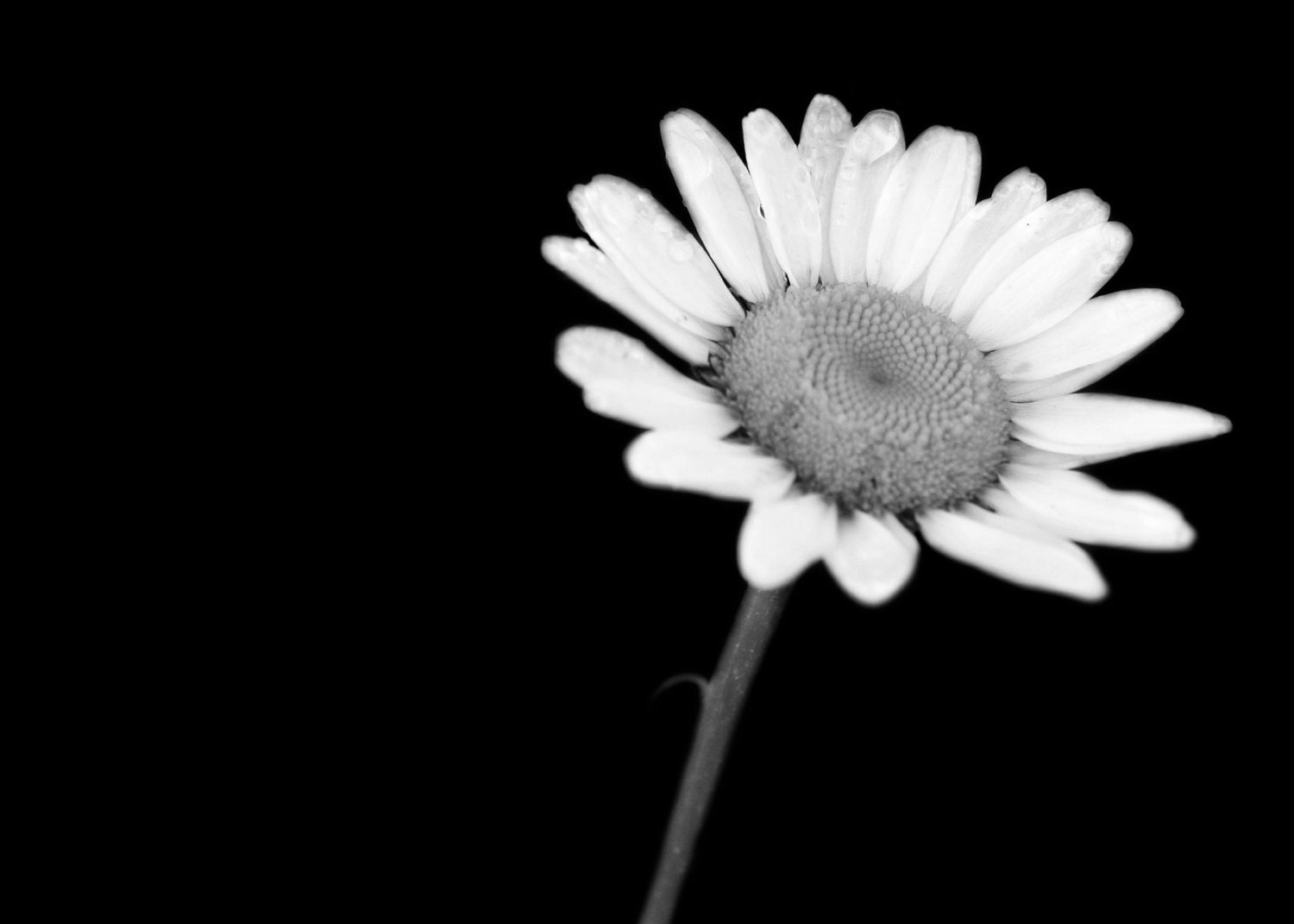 4x6 Black and White Daisy with a Black background