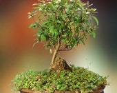 Summer Flowering and Fruiting Herbaceous Bonsai - Dwarf