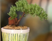 Fun, Cool, and Jolly Juniper Bonsai Gift