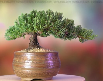 Handcrafted, Healthy Japanese Juniper Bonsai in Han-Kengai Cup