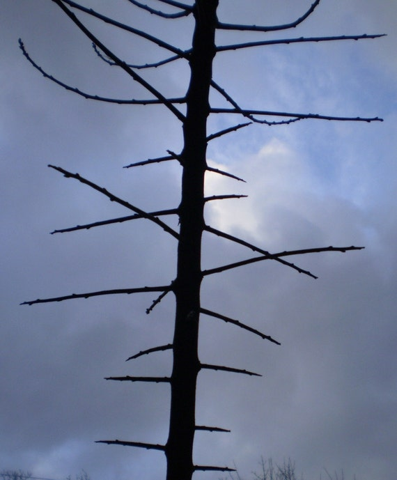 13 Blackthorn Spikes, Spines or Thorns for Spell or Charm Ingredients.