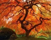 "Fall Nature Photography ""Autumn Zen"" Red Orange Japanese Maple Tree Photograph, Landscape Art, Fall Color Asian Wall Decor, Photo Print"