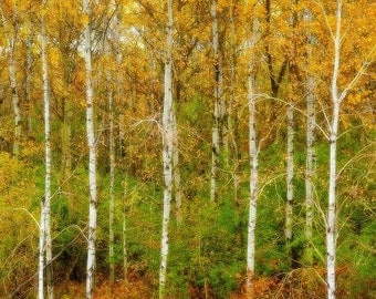 """Fall Color Nature Photography """"Autumns Palette"""" Red Orange Yellow Green Birch Tree Photograph, Fall Landscape Wall Decor, Fall Color Print"""