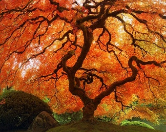 "Fall Nature Photography ""Autumn Zen"" Red Orange Japanese Maple Tree Photograph, Landscape Art, Fall Color Asian Wall Decor, Photo Print"